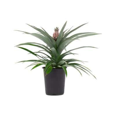1 Qt. Pineapple Plant Mini Me Sol Yellow in 4.7 in. Grower's Pot
