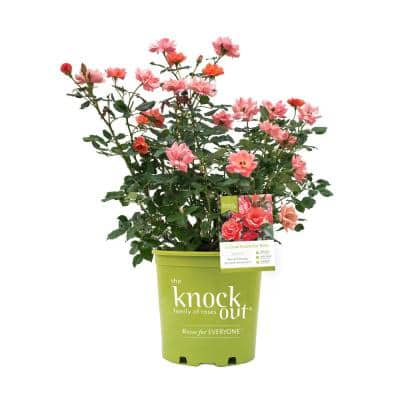 1 Gal. Coral Rose Plant with Coral Flowers and Rich Green Foliage
