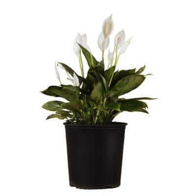 Peace lily Spathiphyllum Rocky Plant in 9.25 in. Grower Pot 24 in. - 28 in. Tall
