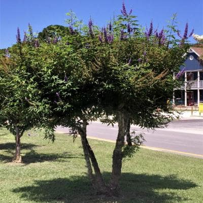 2.4 Gal. Shoal Creek Chaste Tree Vitex with Fragrant Purple Flower Clusters