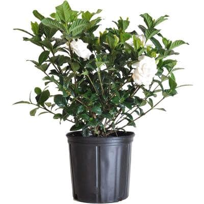 2 Gal. 9.25 in. Gardenia Shrub Plant, White Fragrant Blooms
