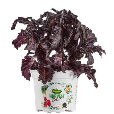 Harvest Select Purple Ruffles Basil Plant