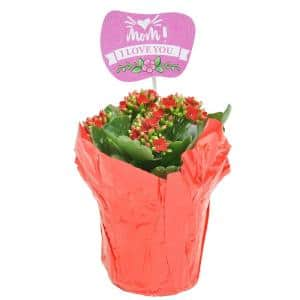4.5 in. Kalanchoe Plant in Pot Cover