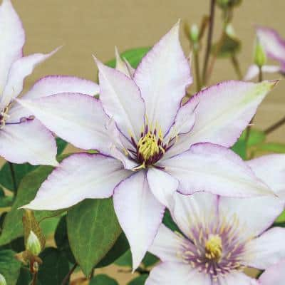 4 in. Pot Samaritan Jo Clematis, Live Deciduous Plant, Pink and Purple Flowering Perennial Vine (1-Pack)