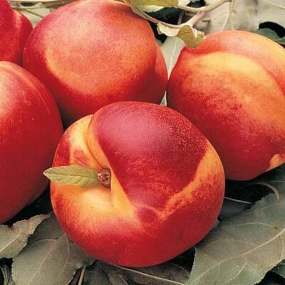Mericrest Nectarine Reachables (Prunus) Live Fruiting Bareroot Tree (1-Pack)