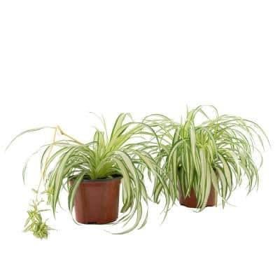 Spider Plant (Chrlophytum) in 6 in. Grower Containers (2-Plants)