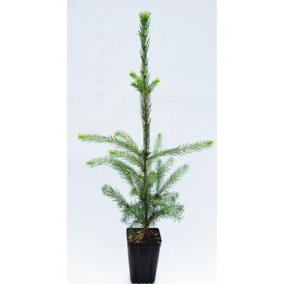 Norway Spruce Potted Evergreen Tree