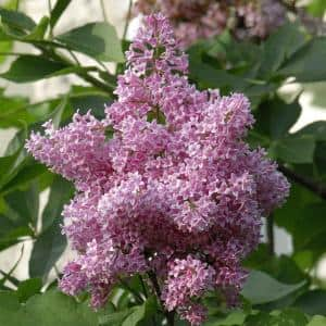2.50 Qt. Pot James Macfarlane Lilac (Syringa), Live Deciduous Flowering Shrub (1-Pack)