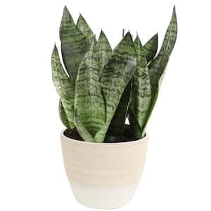 6 in. Sansevieria Plant Grower's Choice (Image of Zeylenica) in Scheurich Ceramic