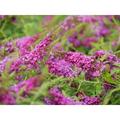 1 Gal. Lo and Behold 'Ruby Chip' Butterfly Bush (Buddleia) Live Shrub, Red Flowers
