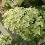 4 in. Pot Proven Winners Limelight Hydrangea Live Potted Plant White Flowers (1-Pack)