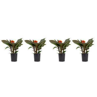2.5 Qt. Canna Lily Plant Orange Flowers in 6.33 In. Grower's Pot (4-Plants)