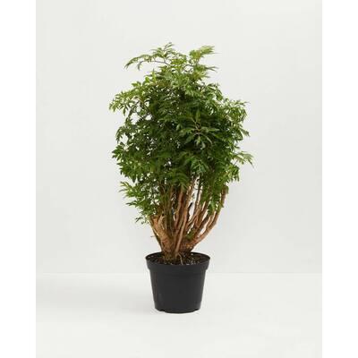 6 in. Aralia Ming Stump (Polyscias Fruticosa) Plant in Grower Pot