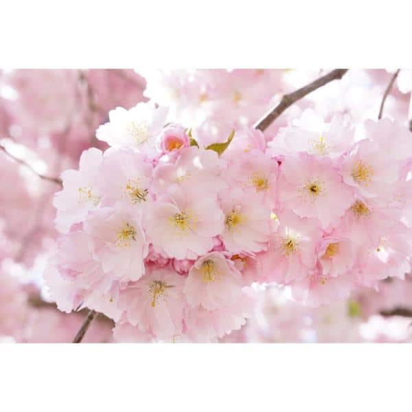 Online Orchards Accolade Cherry Blossom Tree Bare Root Flch004 The Home Depot