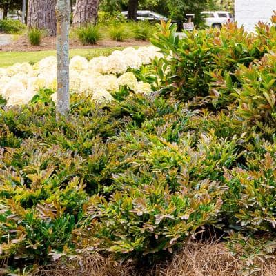 3 Gal. Cast In Bronze Distylium, Evergreen Shrub With Fast Growing Upright Habit