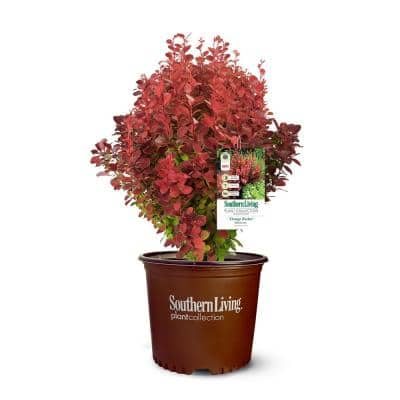 2 Gal. Orange Rocket Barberry Plant with Coral to Ruby Red Foliage