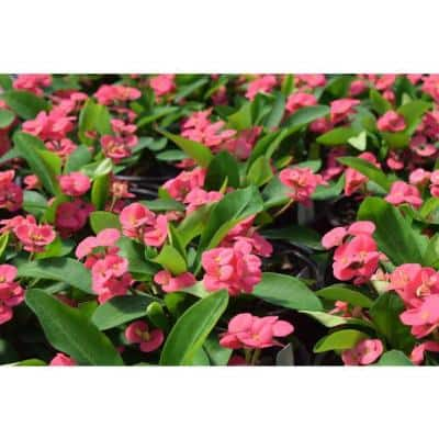 2.5 Qt. Crown of Thorns Plant Pink Flowers in 6.33 In. Grower's Pot (2-Plants)