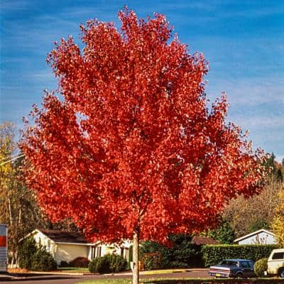 Green Foliage Autumn Blaze Maple (Acer) Tree Live Bareroot Tree (1-Pack)