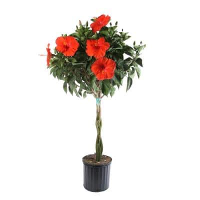 Braided Hibiscus Live Tropical Plant in 2 Gal. Grower's Pot- Grower's Choice Color