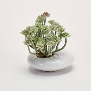 5 in. Aeonium In White Ceramic Pot