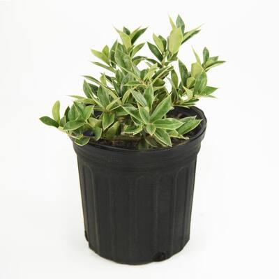 2.5 Qt. Carissa Holly Plant