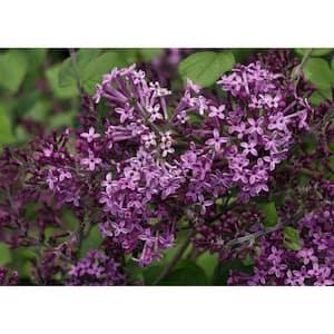 1 Gal. Bloomerang Dark Purple Reblooming Lilac (Syringa) Live Shrub, Purple Flowers
