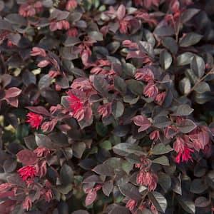 2.5 Qt. Purple Daydream Dwarf Loropetalum, Evergreen Shrub with Purple Foliage, Pink Ribbon Blooms