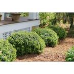 Sprinter Boxwood (Buxus) Live Evergreen Shrub, Green Foliage, 4.5 in. Qt.