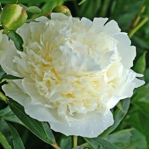 Duchesses De Nemours Peony (Paeonia), Live Bareroot Perennial Plant, White Flowers (1-Pack)