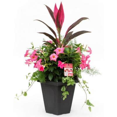 #15 Planter Dipladenia Flowering Annual Shrub with Assorted Bloom Colors and Combinations