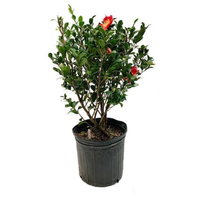 2.5 Gal - Yuletide Camellia(Sasanqua) - Red Blooming Evergreen Shrub, Live Plant