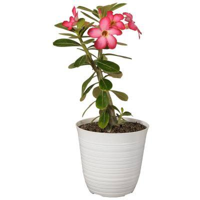 10 in. to 14 in. Tall Desert Rose Pink Flowering Succulent Plant in 6 in. White Decor Pot