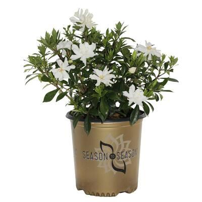 2 Gal.Celestial Star White Gardenia Evergreen Shrub