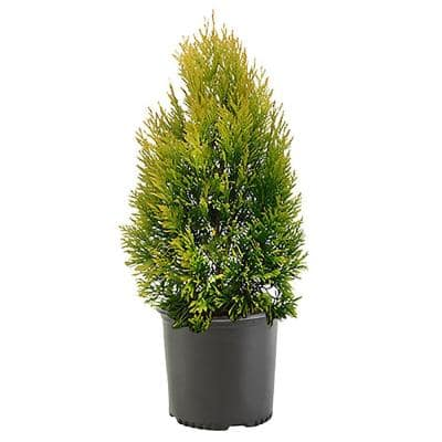 2.25 Gal. Forever Goldy Arborvitae Shrub with Bright Golden Foliage