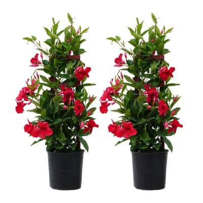30 in. to 34 in. Tall Mandevilla Trellis Red Live Outdoor Vining Plant in 9.25 in. Grower (2-Pack)