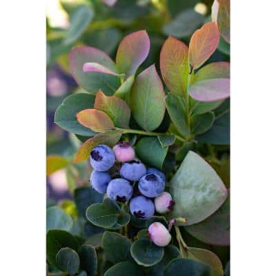 5.5 in. Bushel and Berry Silver Dollar Blueberry Plant