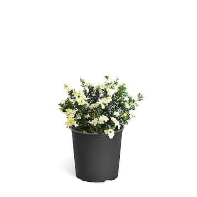 3 Gal. Radicans Gardenia Flowering Shrub with White Blooms