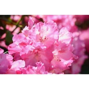 1 Gal. PJM Compact Rhododendron Shrub Profuse Lavender Blossoms Light Up Across Green Foliage Very Cold Hardy