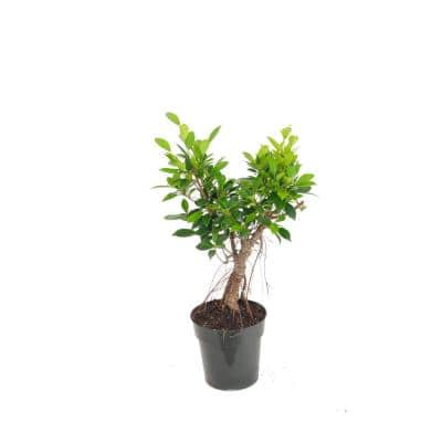 16 in. to 22 in. Tall Ficus Retusa Bonsai Live Indoor Banyan Fig Houseplant Shipped in 6 in. Grower Pot