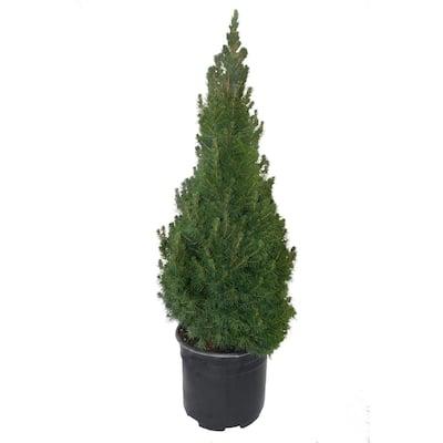 1 Gal. Dwarf Alberta Spruce Shrub with Dense Green Needle Like Foliage