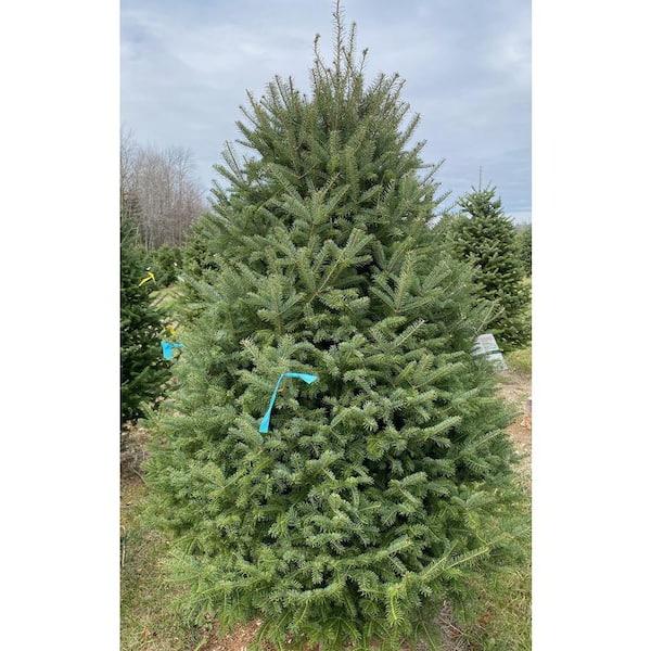 7 8 Ft Freshly Cut Live Balsam Fir Christmas Tree 1000935514 The Home Depot