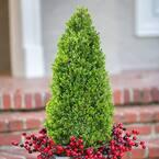9.25 in. Pot - Compacta Japanese Holly(Ilex), Evergreen Shrub - Pyramid Shaped