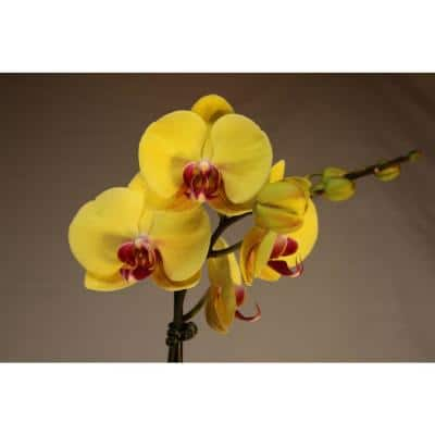 Luna River 5.0 in. Grower Pot Yellow Phalaenopsis Orchid