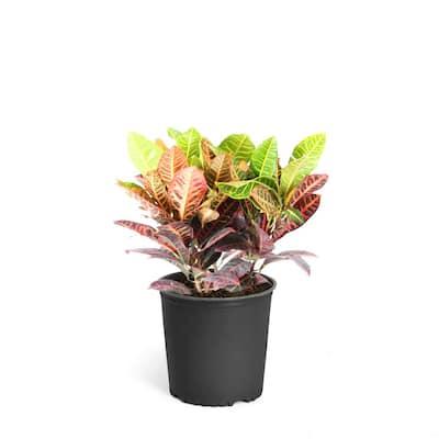 3 Gal. Croton Petra Indoor Plant
