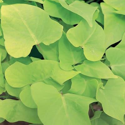 1 Qt. Green Sweet Potato Vine (Ipomoea) Annual Plant
