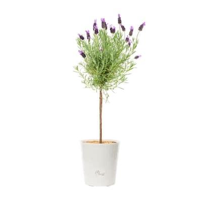 1 Gal. Lavender Tree Perennial Plant