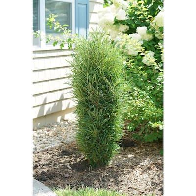 4.5 in. Qt. Fine Line Improved Buckthorn (Rhamnus) Live Plant, Green Foliage