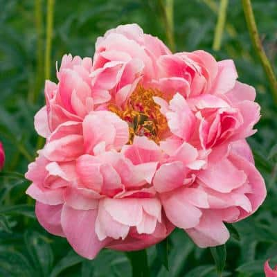 Coral Pink Flowers Coral Charm Peony (Paeonia), Live Bareroot Perennial Plant (1-Pack)