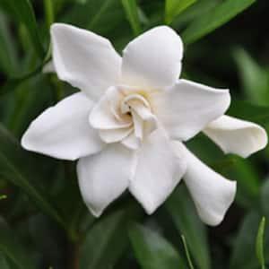 2.5 Qt. Frost Proof Gardenia, Live Evergreen Shrub, White Fragrant Blooms