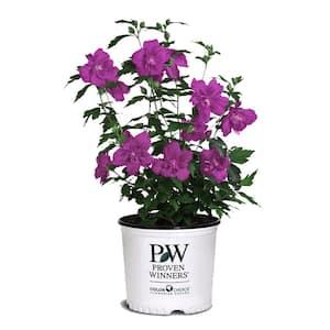 2 Gal. Magenta Chiffon Hibiscus Shrub with Magenta-Purple Powderpuff Blooms